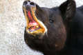 Tapir close up detail portrait of central american with open mouth Stock Photos