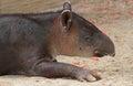 Tapir Royalty Free Stock Photo