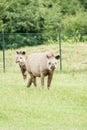 Tapir mammal at the zoo Stock Photos