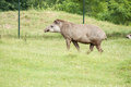 Tapir mammal at the zoo Royalty Free Stock Image