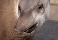 Tapir snout funny portrait closeup with nose profile Royalty Free Stock Photography