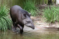 Tapir a splashing in water at taronga zoo sydney australia Stock Photography