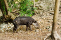 Tapir view of a in chiapas mexico Stock Photo