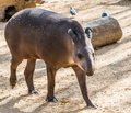 Tapir in a zoo walking Stock Photo