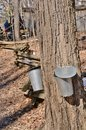 Tapped maples and split rail fence twice sugar maple in midst of sugar bush Royalty Free Stock Image