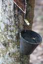 Tapping latex from a rubber tree Royalty Free Stock Photos