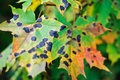 Tar spots on maple leaves Royalty Free Stock Photo