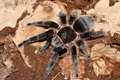 Tarantula Royalty Free Stock Photos