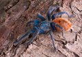 Tarantula on bark Royalty Free Stock Photography