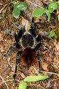 Tarantula large in the rainforest of belize Royalty Free Stock Photos