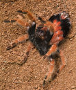 Tarantula molting Royalty Free Stock Photo