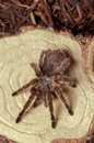 Tarantula a at rest on a piece of wood studio shot from the top Royalty Free Stock Photos