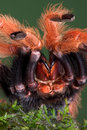 Tarantula showing fangs Royalty Free Stock Photography