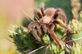 Tarantula sitting on top of a cactus macro shot in oklahoma Royalty Free Stock Photography