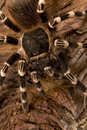 Tarantula Spider Royalty Free Stock Photo