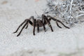 Tarantula Spider close on the sand background Royalty Free Stock Photo