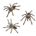 Tarantula spider set isolated on white background Royalty Free Stock Photography