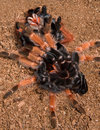 Tarantula under her shed skin Royalty Free Stock Photo