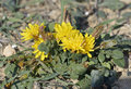 Taraxacum aphrogenes rare endemic dandelion from cyprus Stock Photo