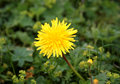 Taraxacum close up of dandelion officinale Stock Photo