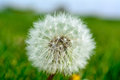 Taraxacum inflorescence of common dandelion Royalty Free Stock Image