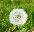 Taraxacum inflorescence of common dandelion Stock Photo