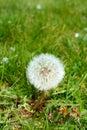 Taraxacum inflorescence of common dandelion Stock Photos