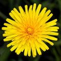 Taraxacum officinale Stock Image