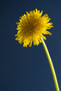 Taraxacum officinale in blue background Stock Images