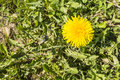 Taraxacum officinale common dandelion dandelion yellow flower top view of a Royalty Free Stock Images