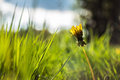 Taraxacum officinale from czech republic Royalty Free Stock Images
