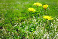 Taraxacum officinale dandelion four on a meadow Stock Images