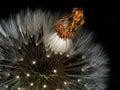 Taraxacum officinale. Dandelion seedhead aka clock macro detail. Royalty Free Stock Photo