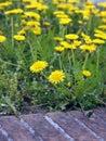 Taraxacum officinale in flower common dandelion flowering a field Royalty Free Stock Image