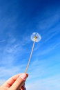Taraxacum officinale hand with under blue sky Stock Photos