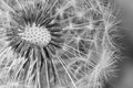 Taraxacum officinale macro photography of ripe fruit of common dandelion Royalty Free Stock Photo
