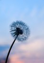 Taraxacum officinale in my hand Royalty Free Stock Images