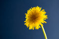 Taraxacum officinale over blue background Royalty Free Stock Photography