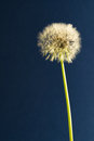 Taraxacum officinale ready to blow Stock Photos