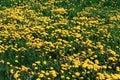 Taraxacum yellow on young meadow Royalty Free Stock Photos