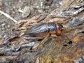 Tarbinskiellus portentosus or Brachytrupes portentosus big head cricket, large brown cricket, short-tail cricket, gangsir, gasir Royalty Free Stock Photo