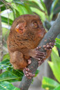 Tardier on a tree Royalty Free Stock Photo
