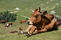 Tarine cow in the french alps closeup of lying savoie department at la plagne Stock Photography