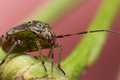 Tarnished plant bug on green flower stem with beautiful coloration is crawling budding Stock Images