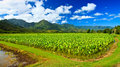 Taro Field, North Kauai Stock Photos