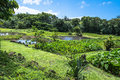 Taro fields of Kauai, Hawaii Royalty Free Stock Photo