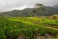 Taro fields on Kauai Royalty Free Stock Photo