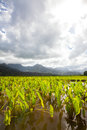 Taro fields, mountains, rain clouds, tropical island of Kauai Royalty Free Stock Photo