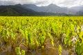 Taro fields, mountains, rain clouds, tropical Kauai island Royalty Free Stock Photo