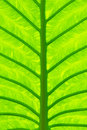 Taro leaf Royalty Free Stock Photo